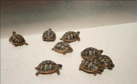 Achat : Superbes tortues terrestres hermann testudo herman  (Reptiles) - Reptiles neuf et d'occasion - Achat et vente