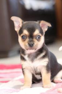 Chiot chihuahua non lof a donner