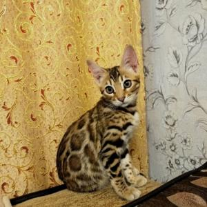 Baby bengal available