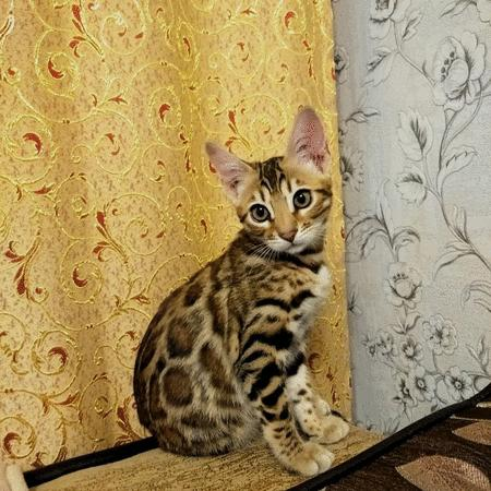 Achat : Baby bengal available  (Chat) - Chat neuf et d'occasion - Achat et vente