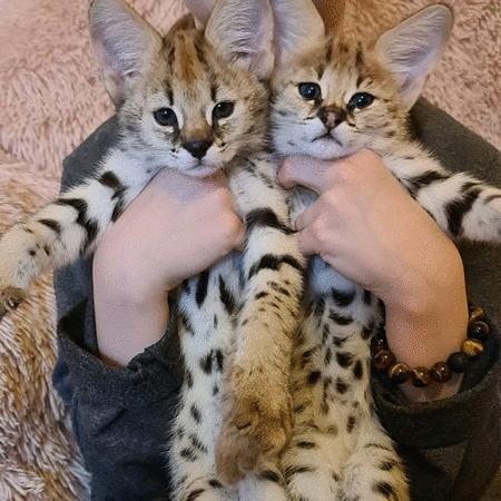 Inhandla : Serval kittens  (Chat) - Chat nio och av tillfället - inhandla och rean