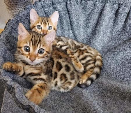 Achat : Chatons bengal  (Chat) - Chat neuf et d'occasion - Achat et vente